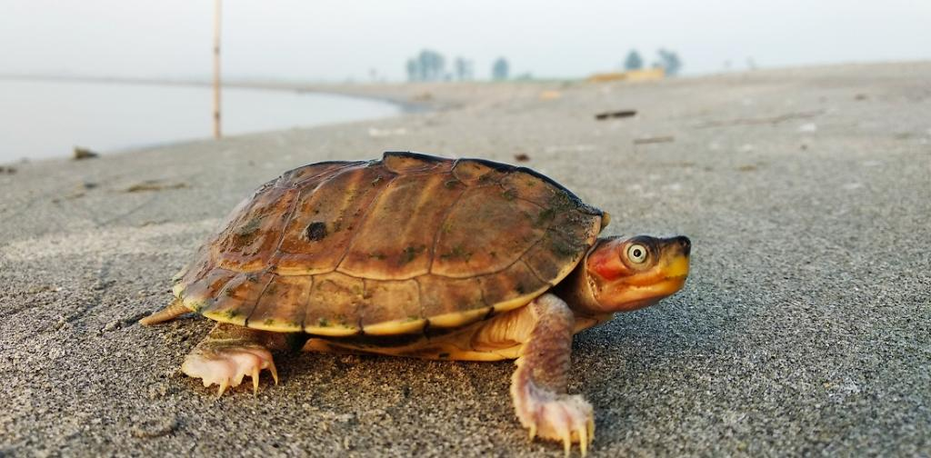 Brown Roofed Turtle. Photo: TSA-India