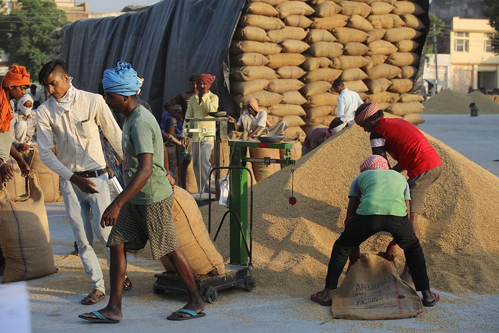 Labourers weighing paddy at the Patiala Anaj Mandi, Punjab