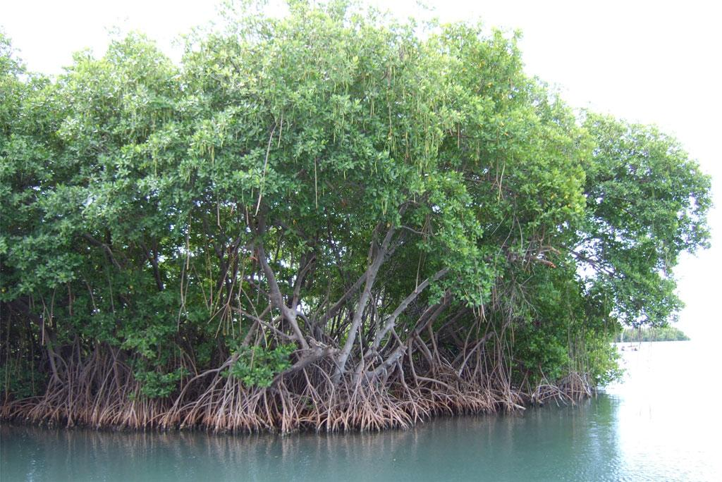 Mangrove forests are suffering damage, rising sea level and people are responsible