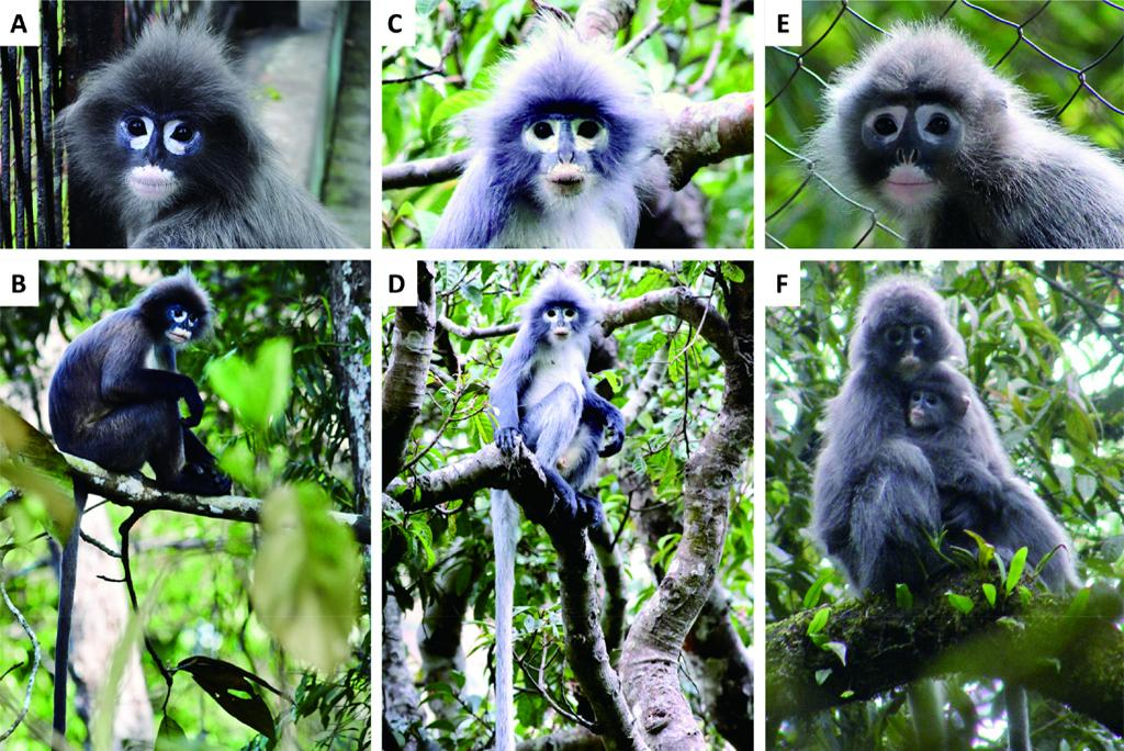 New primate facing extinction discovered