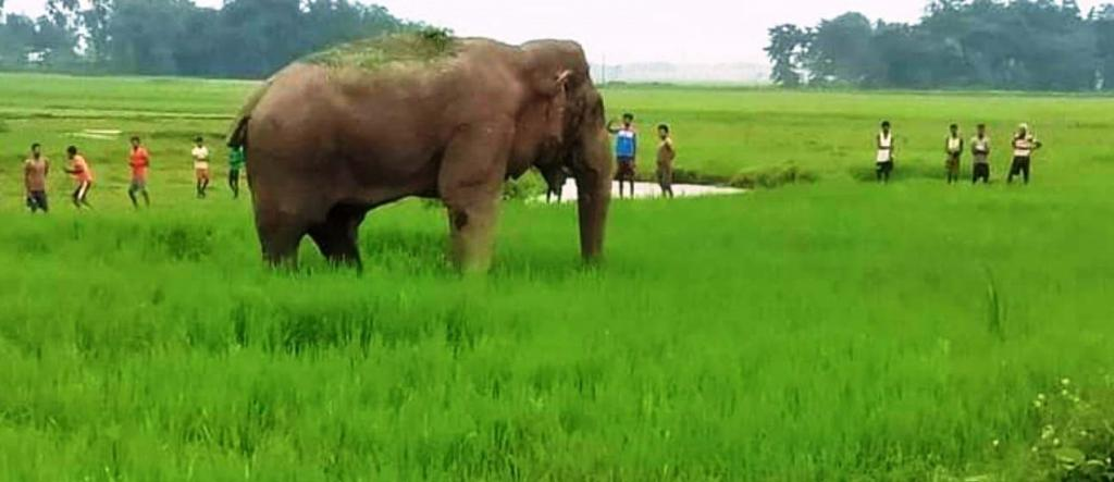 Elephant raids during paddy harvest likely to rise in north Bengal, due to greater cultivated area. Photo: By special arrangement