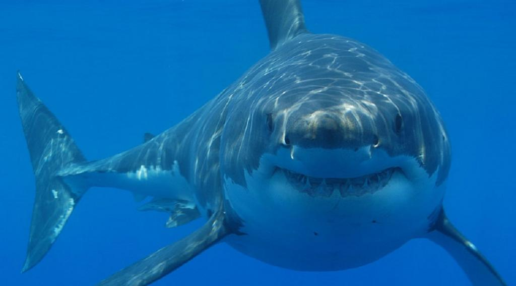 Fatal shark attacks are at a record high. 'Deterrent' devices can help, but some may be nothing but snake oil. Photo: Wikimedia Commons