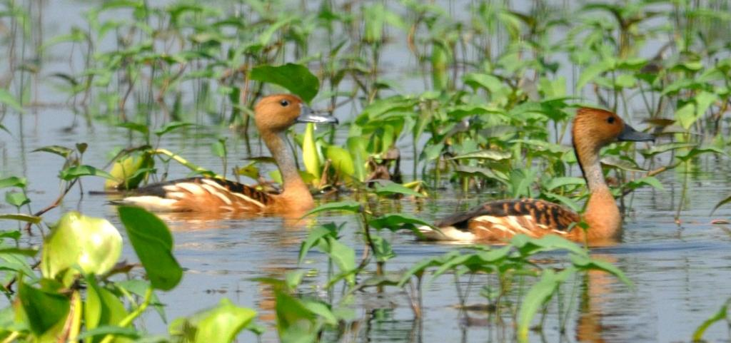 In a first, Bihar holding migratory bird festival to raise awareness about them. Photo: C K Manoj