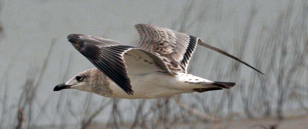A juvenile Palla's Gull, a species that migrates to India during winters. Photo: C K Manoj