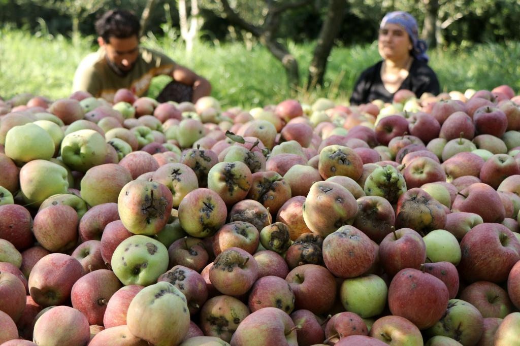 A couple in Tahab area of south Kashmir packs their apples. The apple scab disease returned in Jammu and Kashmir after 35 years. Photo: Kamran Yousuf