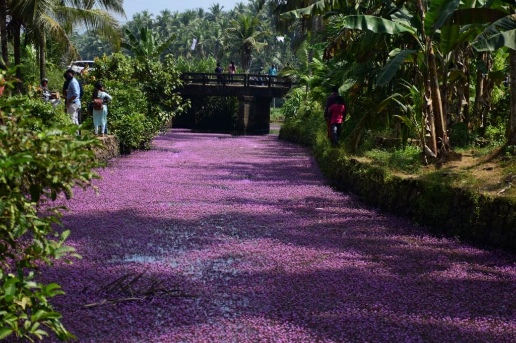 The plant painting the rivers pink is Forked Fanwort, which can choke water bodies and drains. Photo: KA Shaji