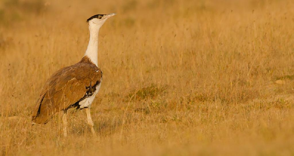 Bustard conservation: No agreement on underground power lines, ban on new projects. Photo: Wikimedia Commons