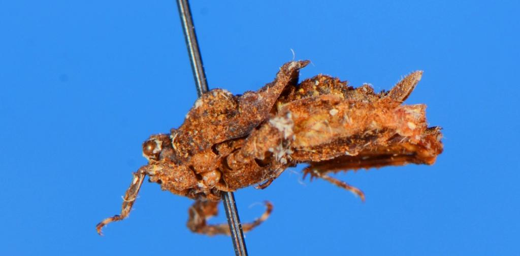 Red List Assessment of Indian grasshoppers to start this month-end. Photo: MUCN, Spain