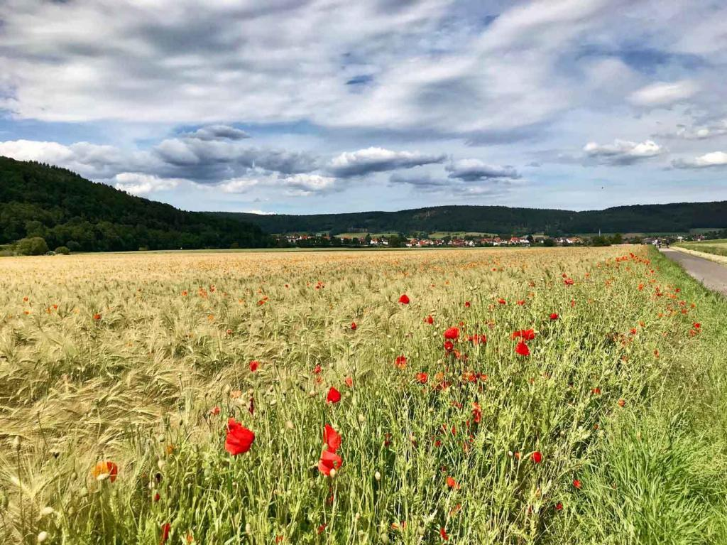 The corn poppy (Papaver rhoeas) are among the species steadily declining in Germany. Photo: Sebastian Lakner / iDiv