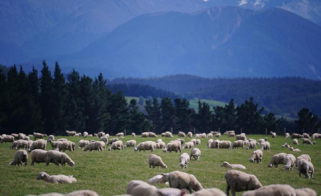 A sheep farm in New Zealand. Photo: Pixabay