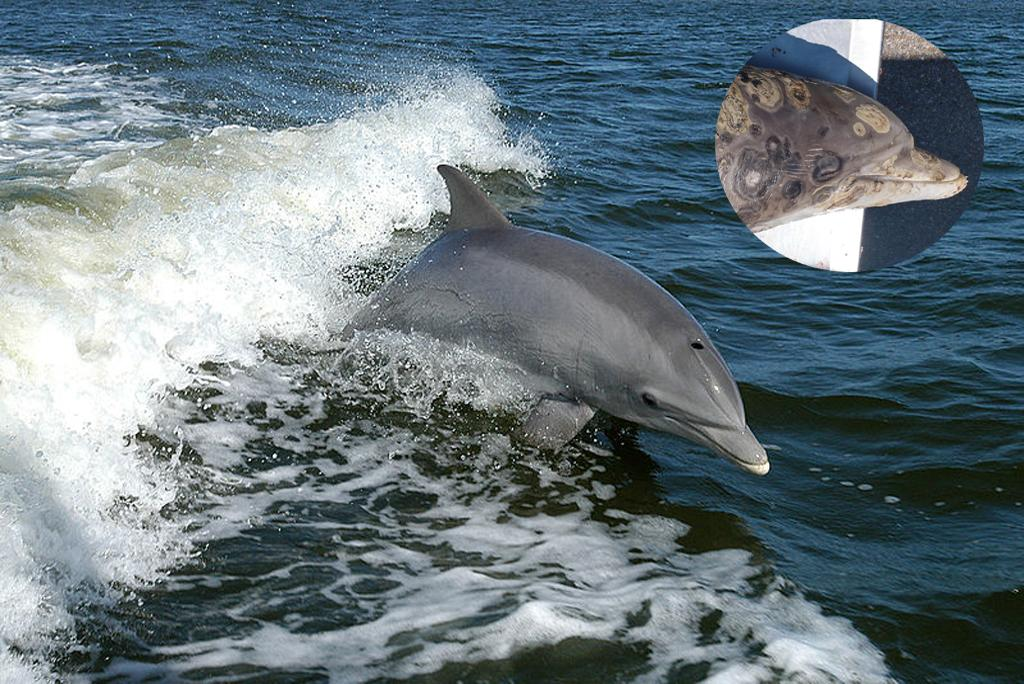 70% of dolphin skin disease: climate change is responsible