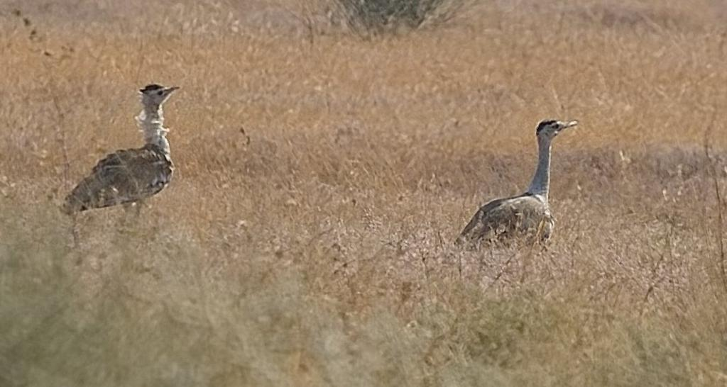 NGT wants underground power lines, bird diverters at Great Indian Bustard habitat. Photo: Wikimedia Commons