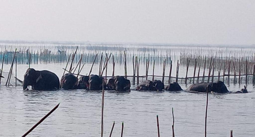 A herd of 14 elephants destroyed prawn farms in Bahuda lake in Odisha's Ganjam district December 29, 2020.  They also destroyed several fishing boats and nets. They had  first entered villages in Sorala, Sonapur and Kaitha December 28 and damaged  ripe paddy crops and vegetable crops. Photo: Ashis Senapati
