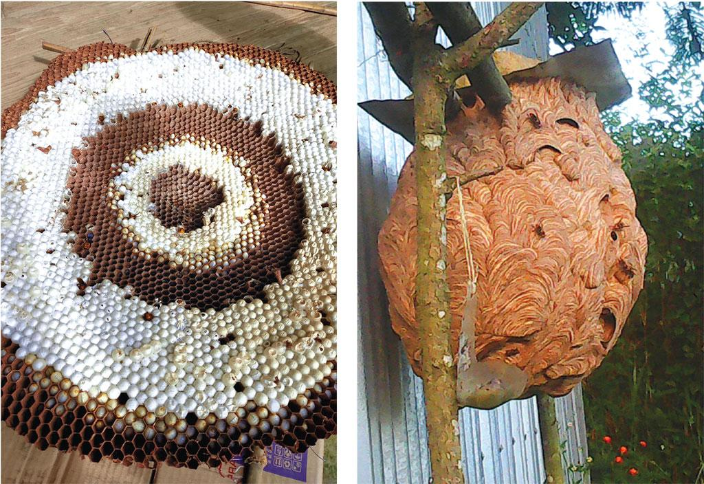 (From left to right) Nest of Asian giant hornet that lives underground; the white combs are the ones with larvae. Those who rear Asian hornet, that builds its nest in hollow tree trunks, simply place it on a tree in the courtyard  (Photo Courtesy:  Phalee Biodiversity Management Committee)