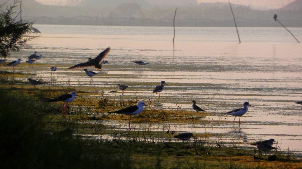 Chilika Lake sees record number of migratory birds. Photo: Ashis Senapati