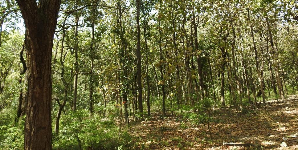 A sal grove near Dehradun. Photo: Wikimedia Commons