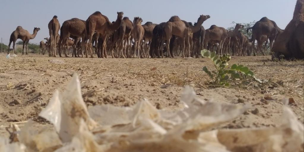How plastic pollution affects camels in the Thar. Photo: Suraj Singh, Desert Resource Centre