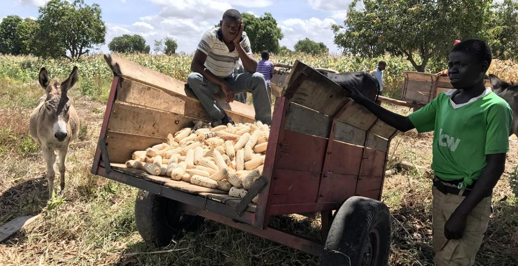 The analysis has suggested that the administration should provide information about prices of maize, Malawi's principal crop, as a way to tackle the crisis. Photo: Wikimedia Commons