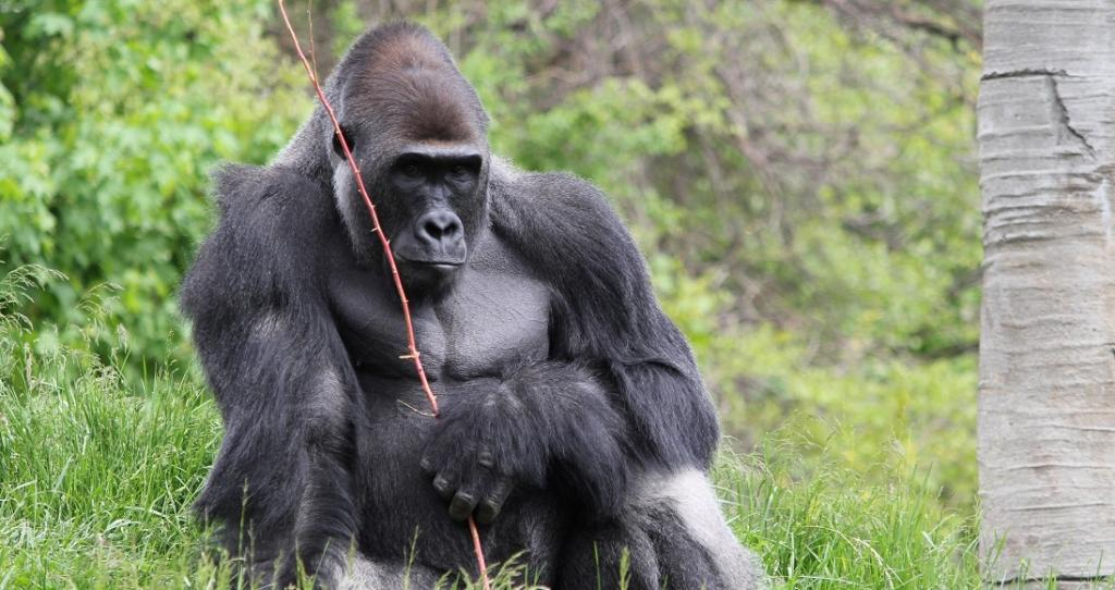 Eight Western Lowland Gorillas at US safari park down with COVID-19