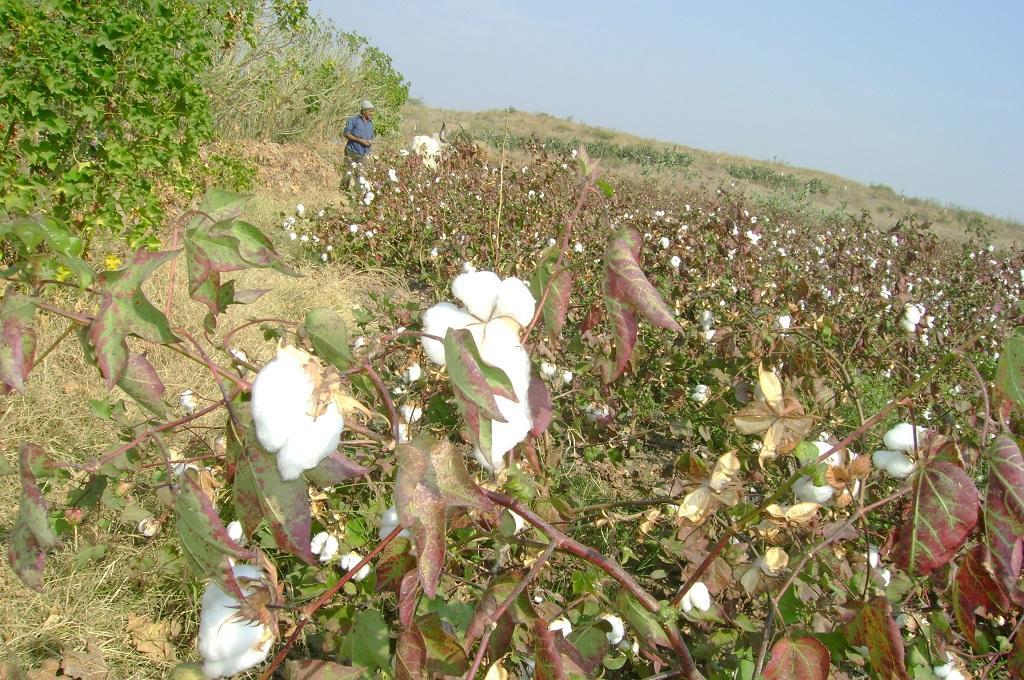 आने वाले दिनों में सफेद कपास की बजाय रंगीन कपास उगा करेंगी। फाइल फोटो: सलाहुद्दीन
