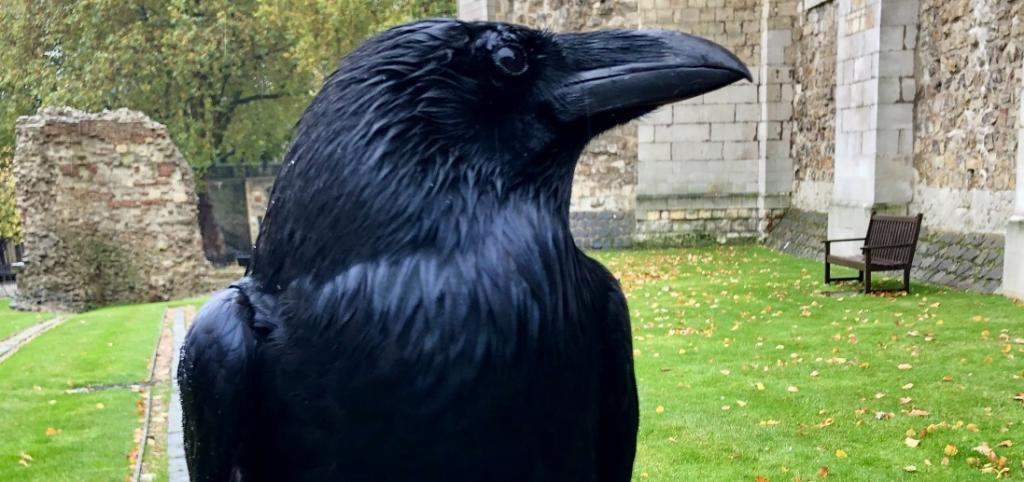 Merlina, the raven who has disappeared from the Tower of London. Photo: @TowerOfLondon / Twitter