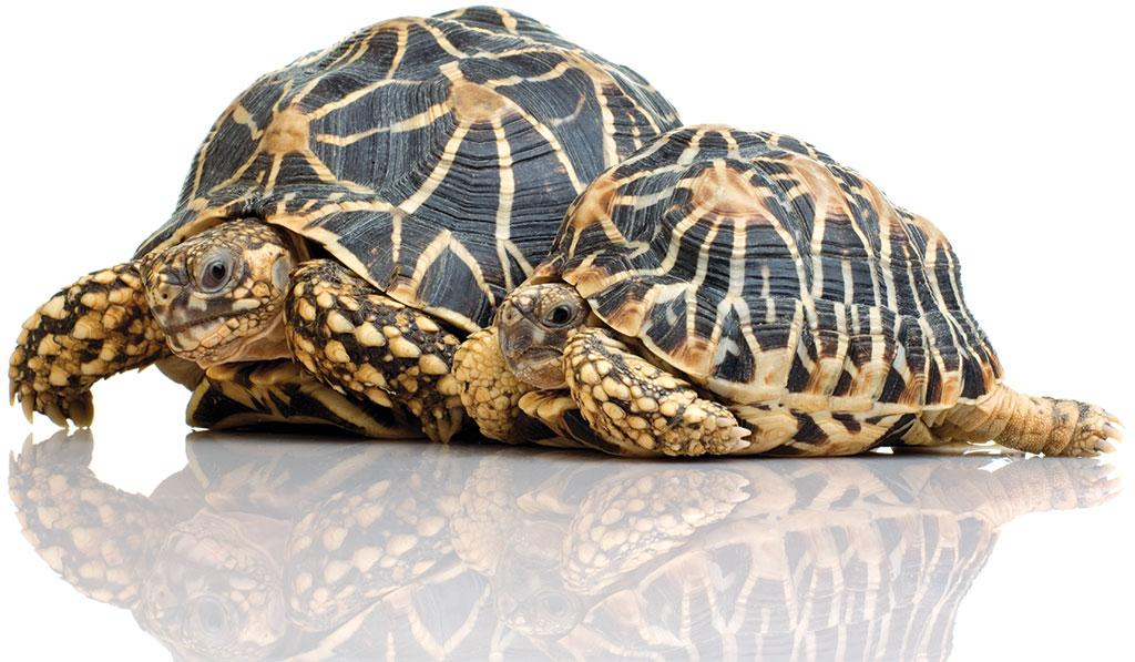 The star tortoise is in Schedule IV of the wildlife law and hence gets minimal protection (Photograph: Dr. K.A.I. Nekaris; istock photo)
