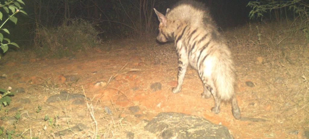 A striped hyena captured on camera in the forest corridor between Delhi and Haryana. Photo: Sunil Harsana