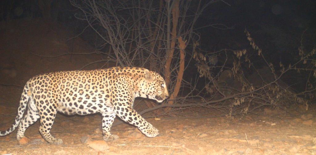 A leopard captured on camera in the forest corridor between Delhi and Haryana. Photo: Sunil Harsana