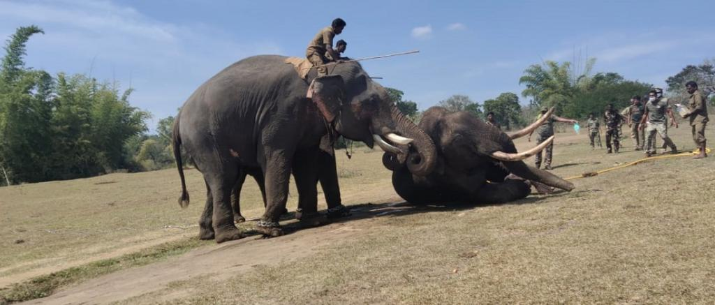 The injured tusker being revived by Kumkis owned by the Tamil Nadu Forest Department. It died before it could be taken to a relief camp. Photo: TN Forest Department