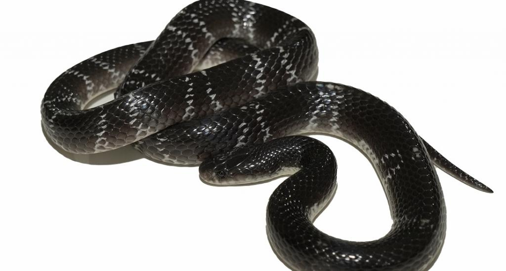 Discovery of new krait species holds promise to save snakebite victims in India