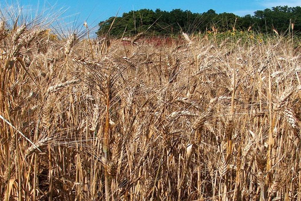 New biodegradable polyurethane foam made from wheat straw
