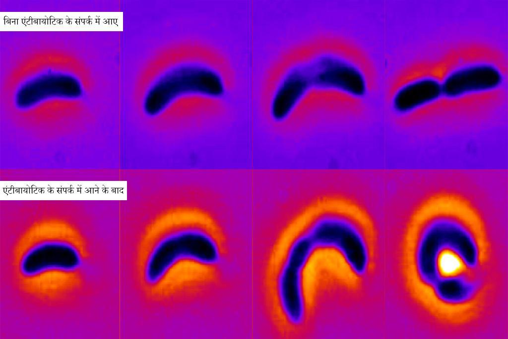 एंटीबायोटिक के संपर्क में आने पर जीवाणु कॉलोबैक्टर क्रेसेंटस की वृद्धि; फोटो: कार्नेगी मेलन यूनिवर्सिटी