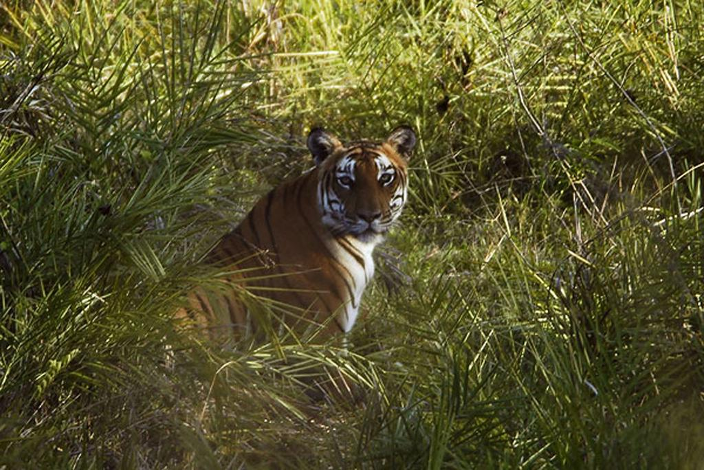 Local tribes serve tigers, play an important role in protecting the species