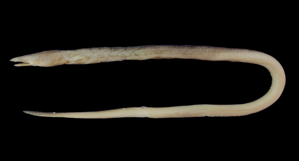 The new species of snake eel found in Odisha and West Bengal. Photo: Hrusikesh Mohanty