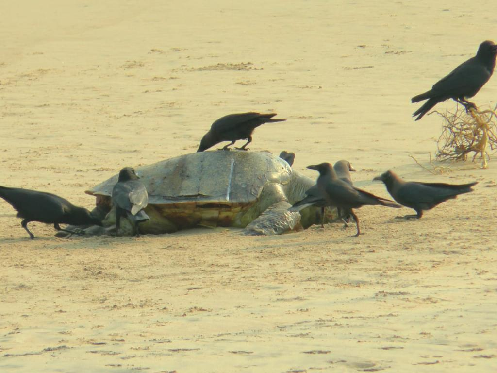 As many as 800 carcasses of Olive Ridley sea turtles were washed ashore recently on the beaches of Odisha. Photo: Ashis Senapati