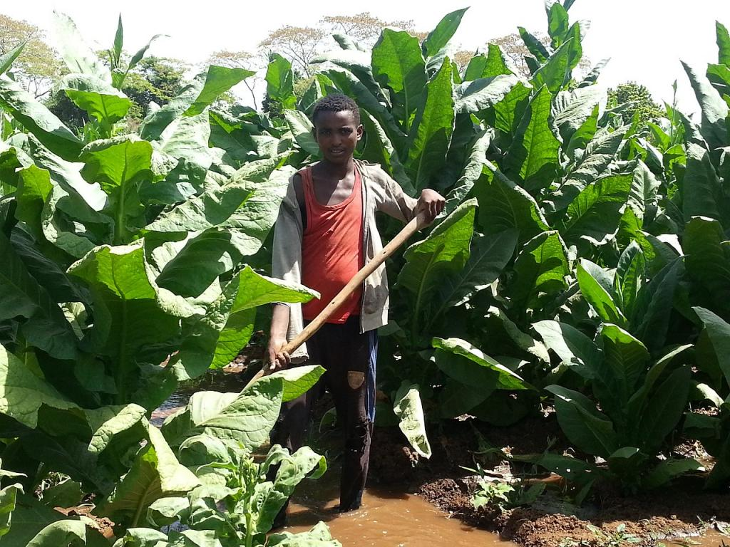 Area under tobacco production in Africa increased 3% in 6 yrs, according to WHO. Photo: Wikimedia Commons