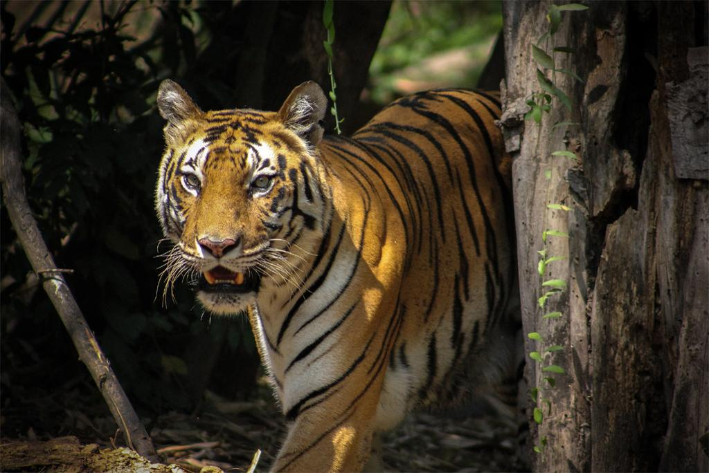 Genomics can play an important role in tiger conservation: Research