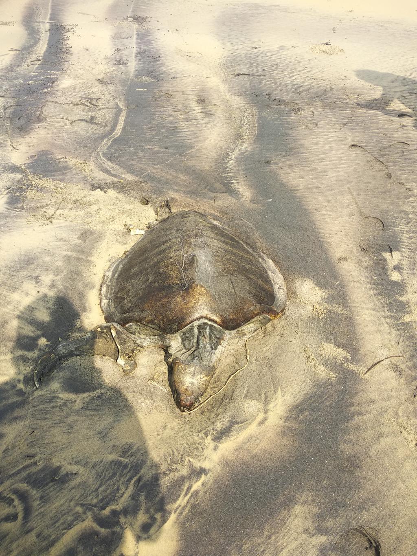 A dead Olive Ridley turtle in Odisha. Photo: Ashis Senapati