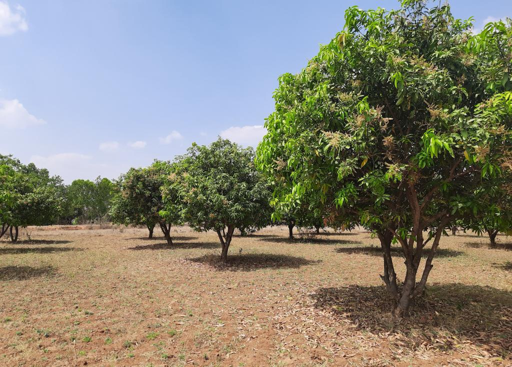 Dense flowering of mango trees in an orchard in Annaram village, Rangareddy district, Telangana. Some farmers fear that excess of mango flowering can bring unpredictable rainfall. Photo: Rupa Sangomla