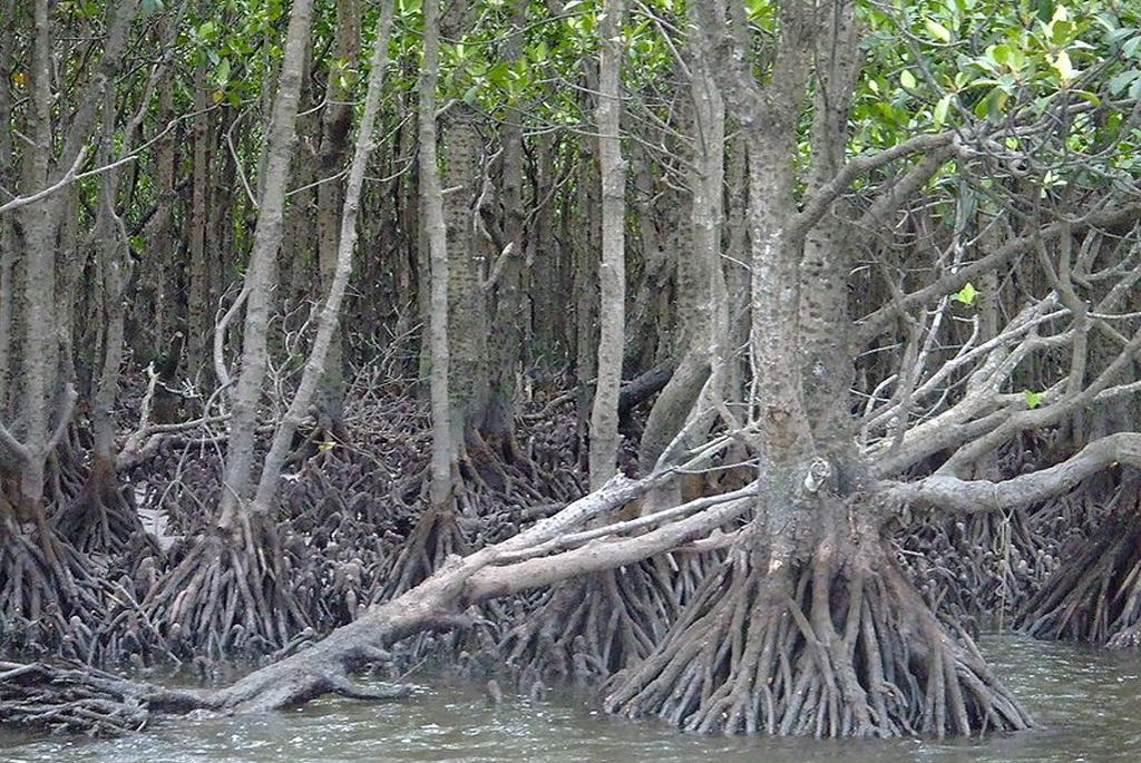 More diverse mangrove forest species store more carbon