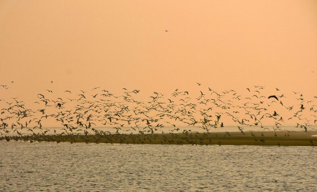 Migratory birds leave Chilika early due to early summer. Photo: Ashis Senapati