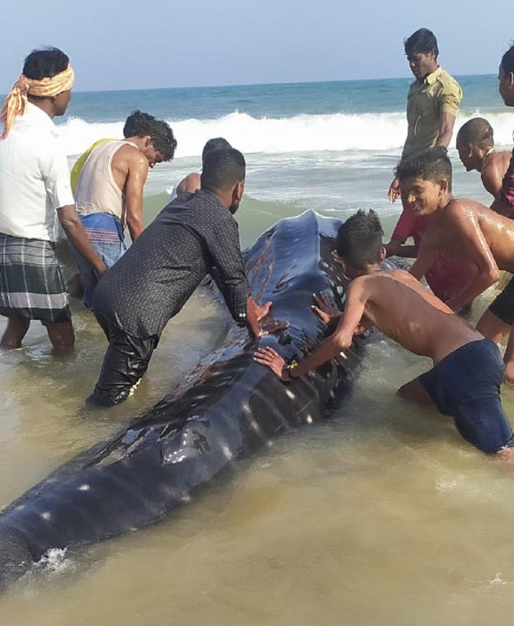 Whale shark found in Odisha's Ganjam, villagers release it into sea. Photo: Hrusikesh Mohanty
