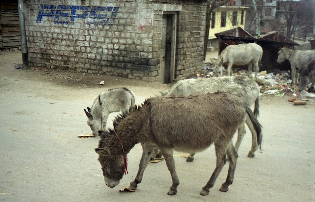 Sharp decline in India's donkey population might be due to Chinese demand. Photo: Wikimedia commons