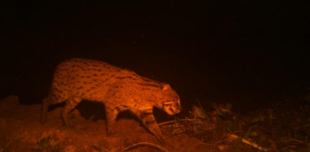 A fishing cat captured in a camera trap at night. Photo: Hrusikesh Mohanty