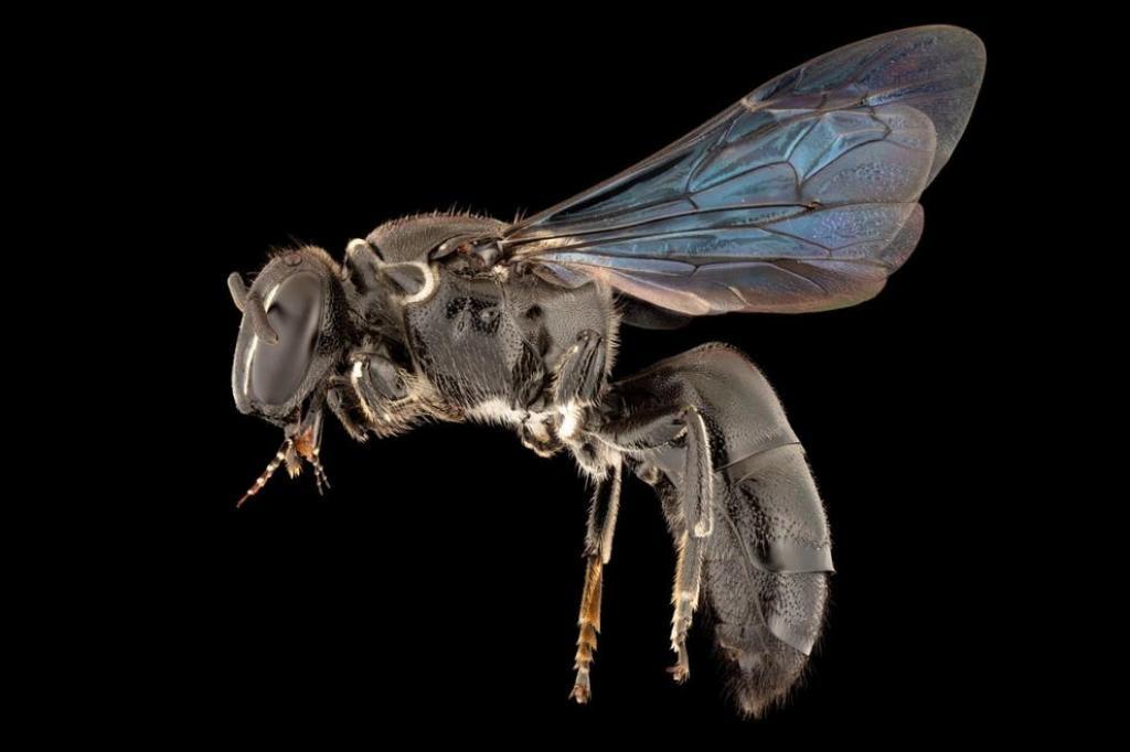The recently rediscovered Pharohylaeus lactiferus, a rare Australian bee. Photo:  James Dorey / Flinders University