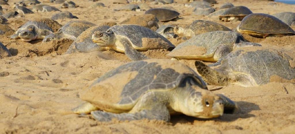 Mass-nesting of turtles begin at Gahiramatha Marine Sanctuary in Odisha