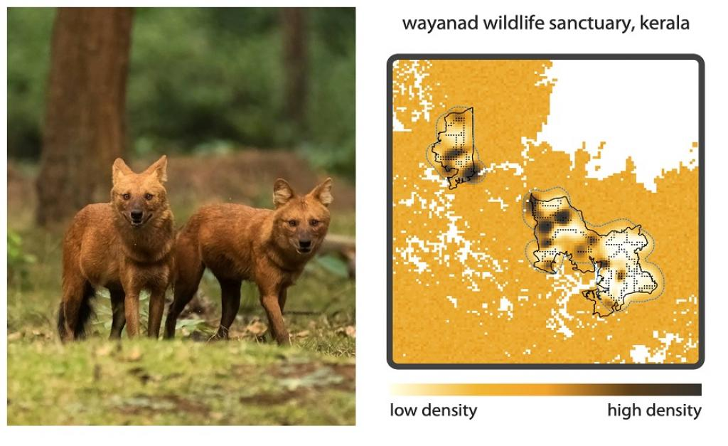 Left– Dholes do not have unique natural markings, making it a challenge to visually distinguish between individuals (Photo by Nitin Vyas). Right– A study in Wayanad Wildlife Sanctuary, Kerala (outlined in black) estimated population size and density of dholes, using SNPs identified from scats to distinguish between individuals (Image reproduced from Srivathsa et al. 2021, Biological Conservation).