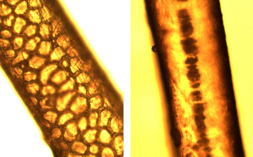 Hair of spotted deer (left) and langur (right) obtained from leopard scat and magnified under a microscope. Unique patterns of hair structure can be used to identify prey species consumed. Photo: Mahi Puri