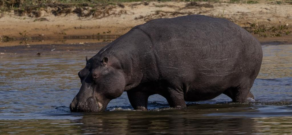 A hippopotamus in the delta. A petition signed by the Anglican clergy was delivered to the Namibian government, the Namibian Consulate in Cape Town and the headquarters of ReconAfrica in Vancouver, Canada. Photo: istock