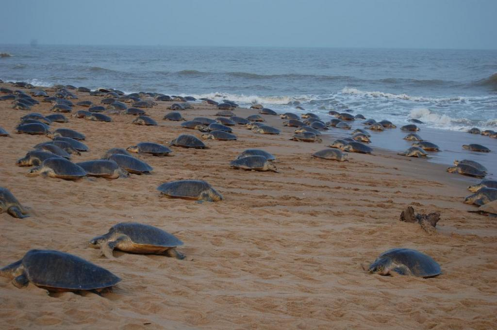 Orissa high court panel submits report on Olive Ridley conservation. Photo: Ashis Senapati